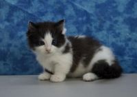 Munchkin Cats for sale in Albany, NY, USA. price: NA