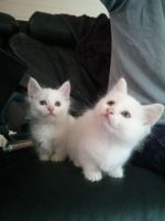 Munchkin Cats for sale in Orlando, FL, USA. price: NA