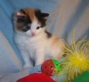 Munchkin Cats for sale in Pittsford, NY 14534, USA. price: NA