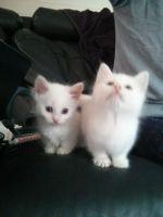 Munchkin Cats for sale in San Bernardino, CA, USA. price: NA