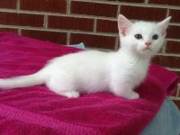 Munchkin Cats for sale in Mayfield, KY 42066, USA. price: NA