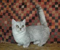 Munchkin Cats for sale in Concord, CA, USA. price: NA