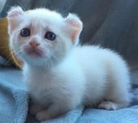 Munchkin Cats for sale in San Antonio, TX, USA. price: NA