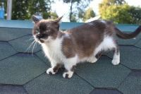 Munchkin Cats for sale in Huntsville, AL, USA. price: NA