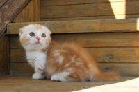 Munchkin Cats for sale in Mobile, AL, USA. price: NA