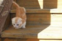 Munchkin Cats for sale in Montgomery, AL, USA. price: NA