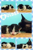 Munchkin Cats for sale in Bokeelia, FL 33922, USA. price: NA