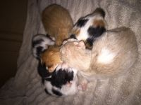 Munchkin Cats for sale in Canton, TX 75103, USA. price: NA