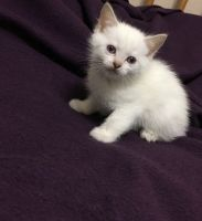 Munchkin Cats for sale in MN-48, Hinckley, MN 55037, USA. price: NA
