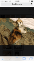 Munchkin Cats for sale in Kimball Township, MI 48074, USA. price: NA