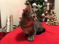 Munchkin Cats for sale in Masontown, PA 15461, USA. price: NA