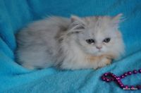 Munchkin Cats for sale in San Diego County, CA, USA. price: NA