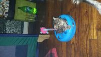 Munchkin Cats for sale in Tyler, TX, USA. price: NA