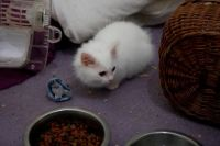 Munchkin Cats for sale in Los Angeles, CA 90050, USA. price: NA