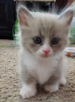 Munchkin Cats for sale in Honolulu, HI 96802, USA. price: NA