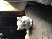 Munchkin Cats for sale in Dayton, OH, USA. price: NA