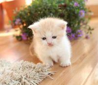 Munchkin Cats for sale in Kansas City, KS, USA. price: NA