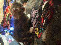 Munchkin Cats for sale in Columbus, GA 31901, USA. price: NA