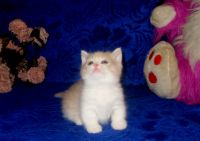 Munchkin Cats for sale in Jersey City, NJ, USA. price: NA