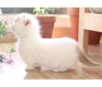 Munchkin Cats for sale in Colorado Springs, CO, USA. price: NA