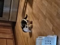 Munchkin Cats for sale in Tampa, FL, USA. price: NA