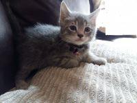 Munchkin Cats for sale in Detroit, MI, USA. price: NA