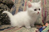 Munchkin Cats for sale in Jacksonville, FL, USA. price: NA