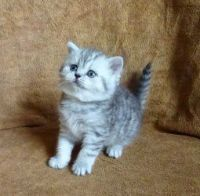 Munchkin Cats for sale in Fresno, CA, USA. price: NA