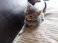 Munchkin Cats for sale in Bronxdale Ave, Bronx, NY 10462, USA. price: NA