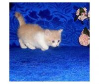Munchkin Cats for sale in Frisco, TX, USA. price: NA