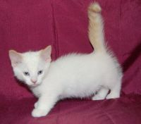 Munchkin Cats for sale in Pittsburgh, PA, USA. price: NA