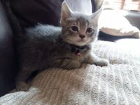 Munchkin Cats for sale in Beverly Hills, CA 90210, USA. price: NA