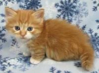Munchkin Cats for sale in Temple City, CA, USA. price: NA