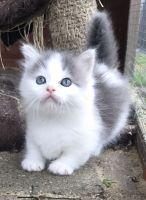 Munchkin Cats for sale in GA-85, Atlanta, GA, USA. price: NA