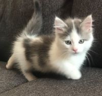 Munchkin Cats for sale in Minneapolis, MN, USA. price: NA
