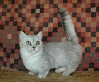 Munchkin Cats for sale in State Hwy 295, Washington, DC, USA. price: NA