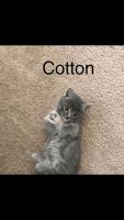 Munchkin Cats for sale in Albuquerque, NM, USA. price: NA