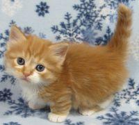 Munchkin Cats for sale in Ashburnham, MA, USA. price: NA