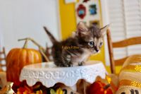 Munchkin Cats for sale in 111 Conner Rd, Anacoco, LA 71403, USA. price: NA
