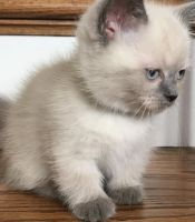 Munchkin Cats for sale in Northridge, CA 91328, USA. price: NA