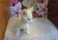 Munchkin Cats for sale in Seattle, WA 98161, USA. price: NA