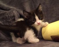 Munchkin Cats for sale in San Marcos, TX 78666, USA. price: NA