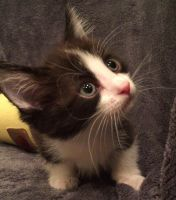 Munchkin Cats for sale in West Palm Beach, FL 33411, USA. price: NA