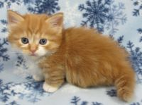 Munchkin Cats for sale in San Diego, CA, USA. price: NA
