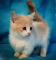 Munchkin Cats for sale in Torrance, CA 90503, USA. price: NA
