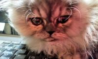 Munchkin Cats for sale in New Hartford, CT, USA. price: NA