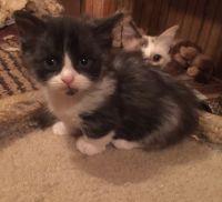 Munchkin Cats for sale in Winnsboro, LA 71295, USA. price: NA
