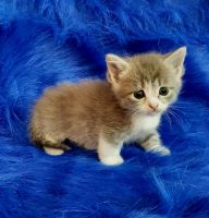 Munchkin Cats for sale in Fort Worth, TX 76102, USA. price: NA