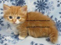 Munchkin Cats for sale in Roanoke, VA 24012, USA. price: NA
