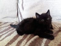 Munchkin Cats for sale in Jersey City, NJ 07097, USA. price: NA